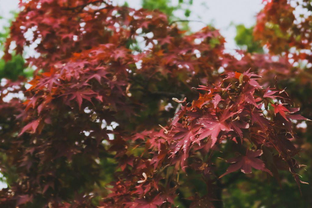 枯れ気味の紅葉